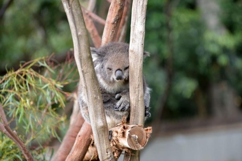Koala neslini tükenmekten kurtaracak yeni sağlıklı türler bulundu