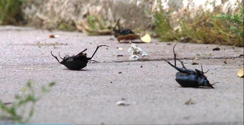 Diyarbakır'da ilaçlamaya rağmen böcek istilası