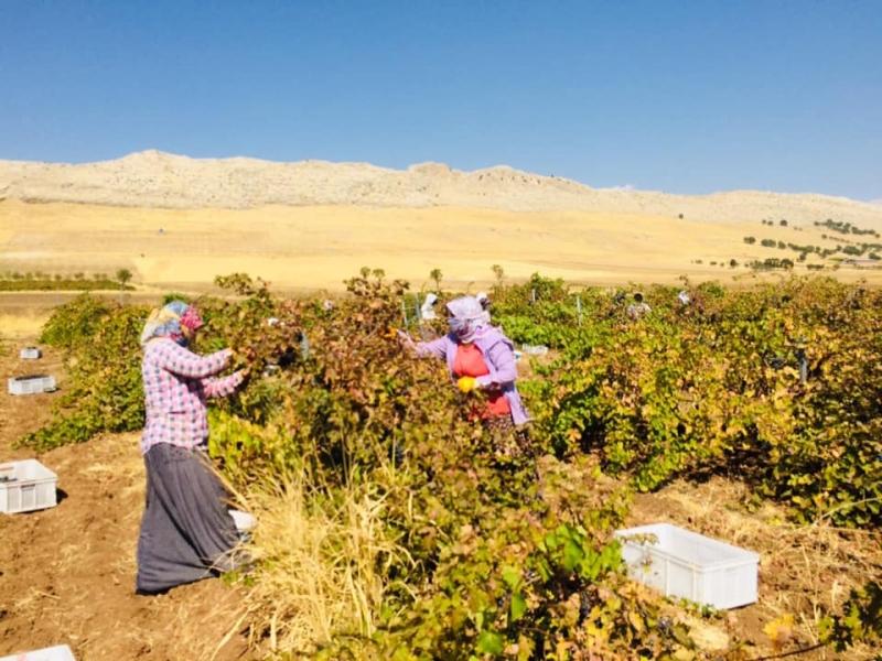 Ergani 'de üzüm hasadı başladı