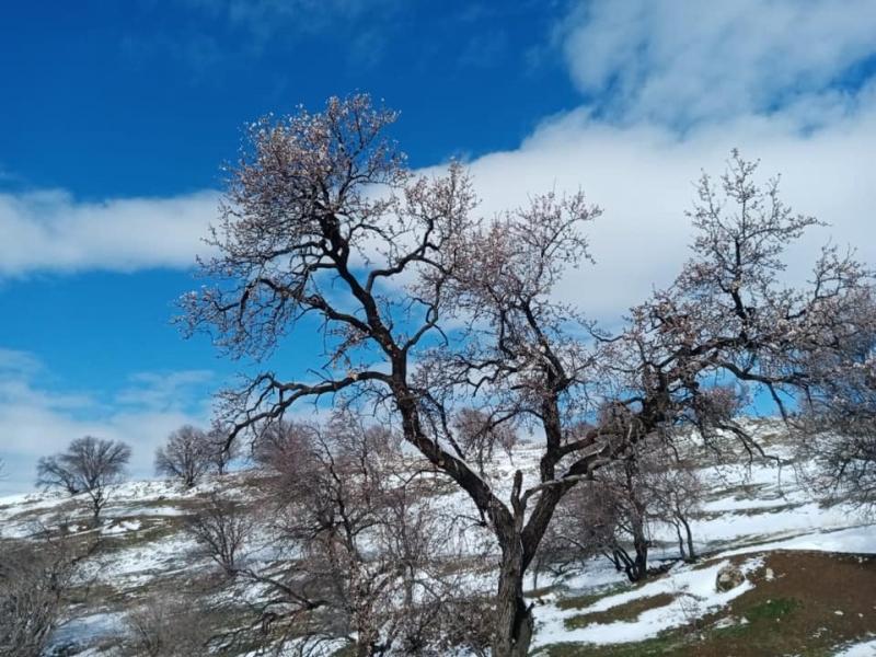 Ergani'de şubat ayında bademler çiçek açtı