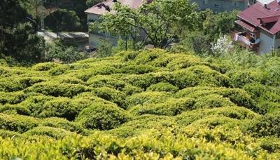 6 bin 900 TL maaşla, 2 bin çay işçisi arıyorlar