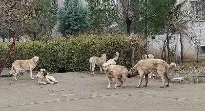 Çete gibi dolaşan köpekler korkutuyor