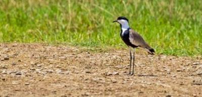 Dicle Vadisi'nde mahmuzlu kız kuşu görüldü